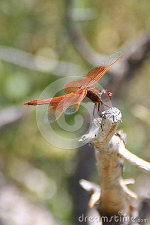 Free Red Dragonfly Royalty Free Stock Photos - 44846218