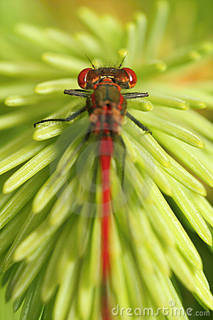 Free Red Dragonfly Royalty Free Stock Photo - 5688255