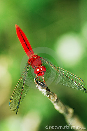 Free Red Dragonfly. Royalty Free Stock Images - 701649
