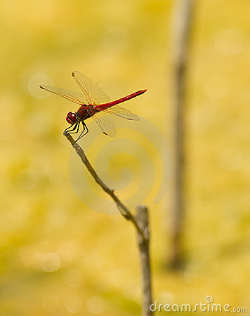 Free Red Dragonfly On Stick Royalty Free Stock Image - 14954796