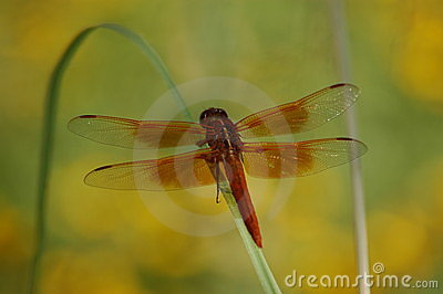 Red Dragonfly perched on blade of grass