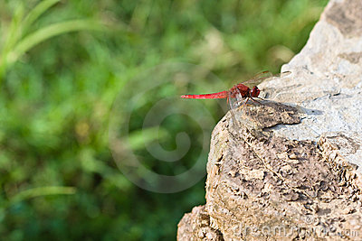 Red dragonfly on rock (1)