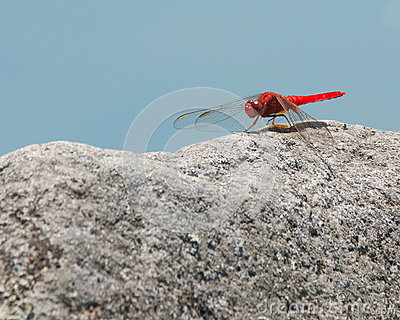 Red dragonfly on rock