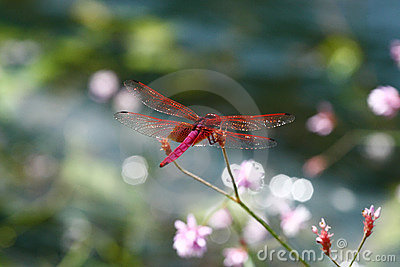 Red dragonfly shine water