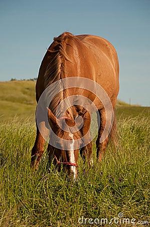 Red Dun Quarterhorse