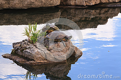 Red Ear Slider Turtles on Rock in Pond