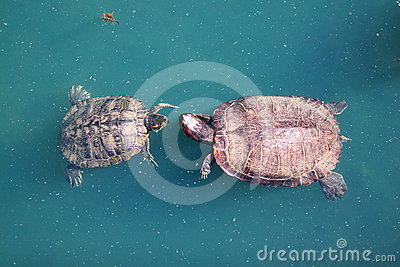 Red-Eared Slider Turtle Courtship Dance
