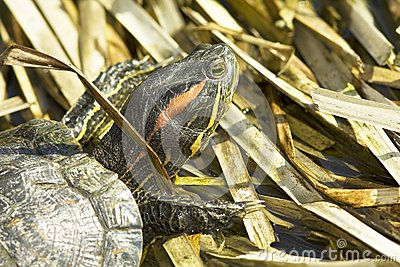 Red-eared Sliders (Trachemys scripta elegans)