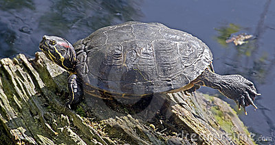 Red-Eared Terrapin 1