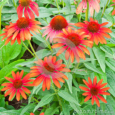 Red echinacea flowers