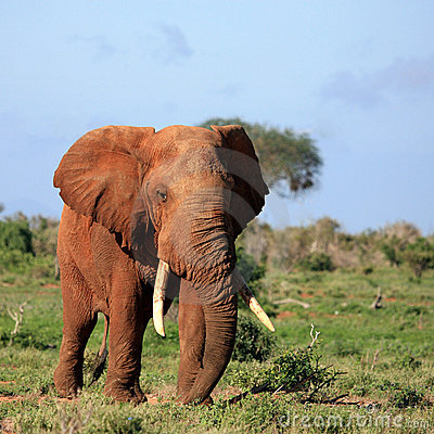 Red Elephant Tsavo East Kenya