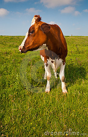 Red en white spotted cow in a Dutch landscape