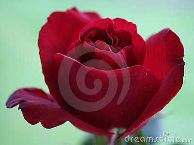 Red english rose