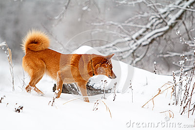 Red Eskimo dog