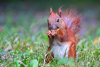Red Eurasian squirrel