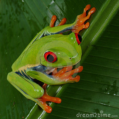 Free Red Eye Tree Frog Royalty Free Stock Images - 594149
