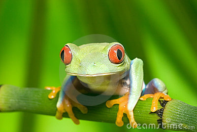 Red Eye Tree Frog on Branch 3
