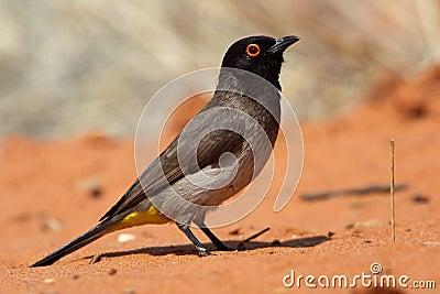 Red-eyed bulbul, Kalahari desert