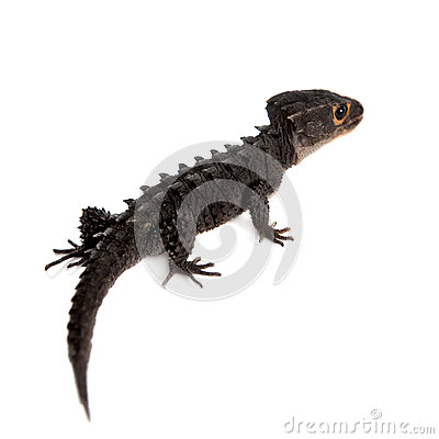 Free Red-eyed Crocodile Skinks, Tribolonotus Gracilis, On White Royalty Free Stock Photo - 65798425