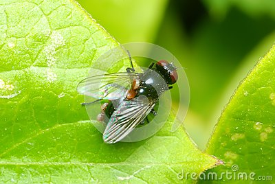 Red eyed fly on a leaf