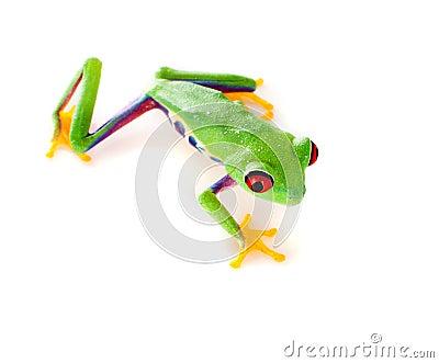 Red eyed frog climbing
