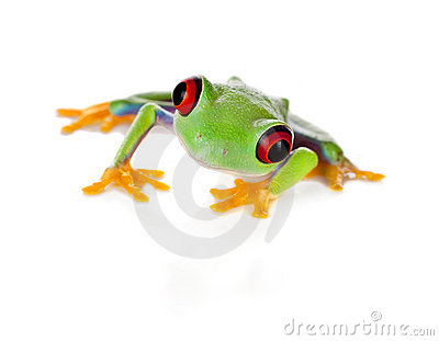 Red eyed frog isolated on white