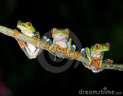 Red eyed green tree frog or gaudy tree frog