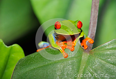 Red eyed green tree leaf frog,costa rica