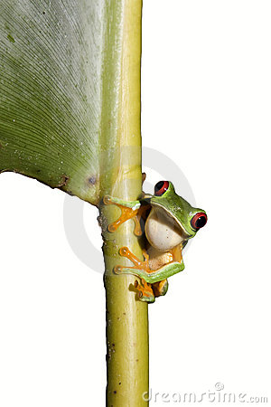 Free Red-eyed Leaf Frog IXb Royalty Free Stock Images - 12460499