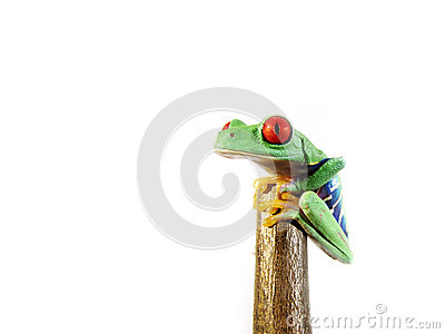 Red-eyed tree frog (146), agalychnis callidryas