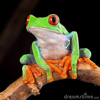 Free Red Eyed Tree Frog Stock Images - 23155674
