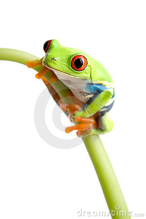 Free Red-eyed Tree Frog Stock Photography - 2493802