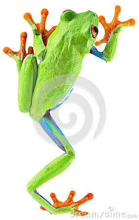 Free Red Eyed Tree Frog Stock Photography - 36166572