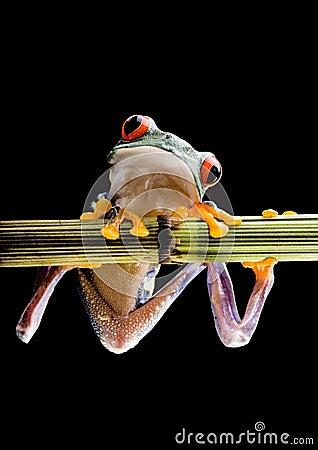 Free Red Eyed Tree Frog Royalty Free Stock Image - 3954916