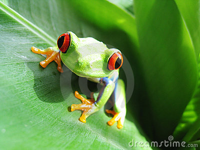 Red-eyed tree frog 60