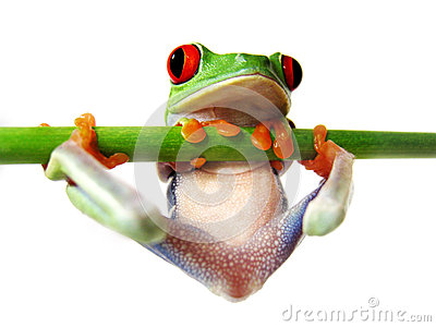 Red-eyed tree frog (86), Agalychnis callidryas