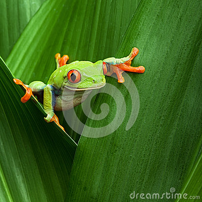 Free Red Eyed Tree Frog Big Eye Curiosity Royalty Free Stock Images - 25629789