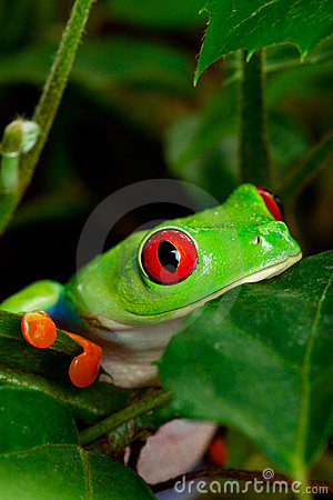 Red Eyed Tree Frog Closeup