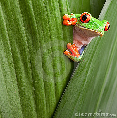 Free Red Eyed Tree Frog Curious Animal Green Background Stock Photo - 23165260