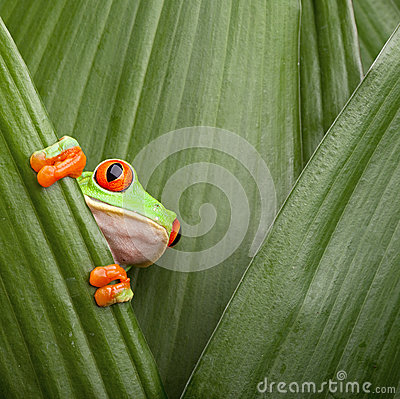 Free Red Eyed Tree Frog Curious Animal Green Background Royalty Free Stock Photo - 25629785