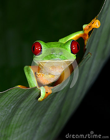 Free Red Eyed Tree Frog Curious Vibrant On Green Leaf, Costa Rica, Ce Royalty Free Stock Photos - 44547448