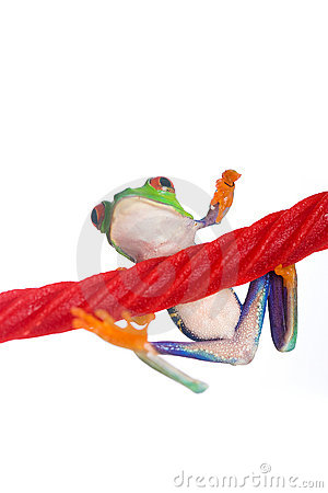 Red Eyed Tree Frog on a licorice rope