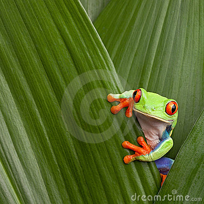 Red eyed tree frog macro Costa Rica jungle