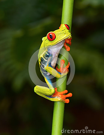 Free Red Eyed Tree Frog On Branch, Cahuita, Costa Rica Stock Photography - 46149902