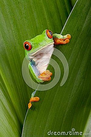 Free Red Eyed Tree Frog Peeping Royalty Free Stock Photos - 26137188