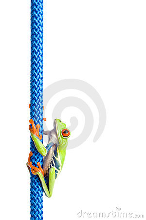 Red-eyed tree frog on rope