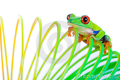 Red Eyed Tree Frog on a Spring Toy