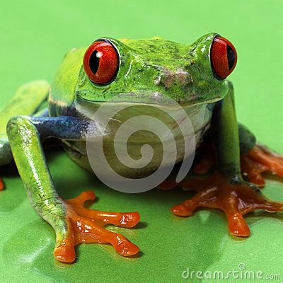 Red eyed treefrog macro isolated
