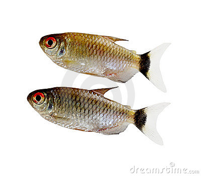 Red Eyes Fishes