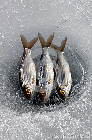Three fish on ice